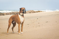 Boxer Dog on Beach royalty free stock photography