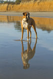 Boxer Dog Beach Reflection. Boxer dog standing on beach with reflection Stock Image