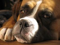 Boxer dog. Beautiful Brown And White Boxer dog portrait close-up Stock Photo