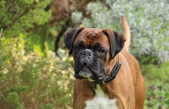 Boxer Dog Royalty Free Stock Photo