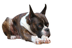 Boxer Dog Royalty Free Stock Photos