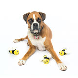 Boxer Dog Bee Happy. Boxer Dog laying down with toy bees Royalty Free Stock Photos
