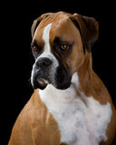 Boxer Dog on Black. Boxer Dog portrait, black background royalty free stock image