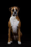 Boxer Dog on Black Royalty Free Stock Photo