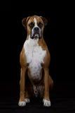 Boxer Dog on Black. Boxer Dog sitting, black background royalty free stock photo