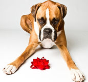 Boxer dog with a bow. Boxer dog laying down with a red bow royalty free stock photography
