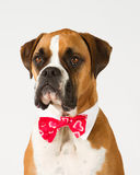 Boxer dog in Bow tie. Boxer dog wearing a red bow tie stock photography