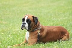 Boxer dog. Lying in the grass stock image