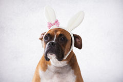 Boxer dog with bunny ears Royalty Free Stock Image