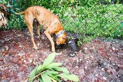 Boxer dog buries bone in the backyard Royalty Free Stock Photo