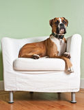 Boxer Dog in Chair. Boxer dog lounging on a modern white chair stock photo