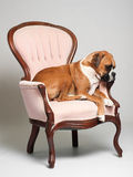 Boxer Dog on Chair. Little black dog sitting on a chair Royalty Free Stock Photography