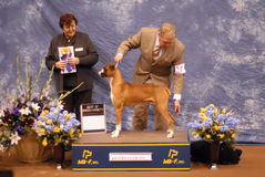 Boxer dog champion Royalty Free Stock Images