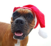 Boxer dog christmas Royalty Free Stock Images