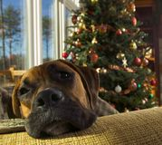 Boxer Dog at Christmas. A Boxer dog relaxing at Christmas Stock Photo
