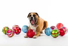 Boxer Dog with Christmas Ornaments. Sleepy Boxer Dog with Christmas Ornaments Royalty Free Stock Image