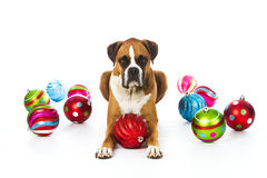 Boxer Dog with Christmas Ornaments. Sleepy Boxer Dog with Christmas Ornaments royalty free stock photography