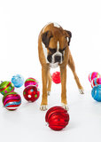 Boxer Dog with Christmas Ornaments. StandingBoxer Dog with Christmas Ornaments royalty free stock photo