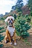Boxer Dog at Christmas Tree Farm. Boxer Dog at a Christmas Tree Farm royalty free stock photography