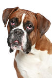 Boxer dog close-up portrait Royalty Free Stock Photos