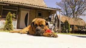 Boxer dog. Cute Stock Photos