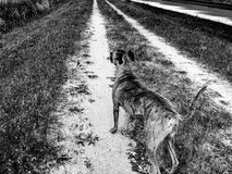 Boxer dog on dirt road Royalty Free Stock Image