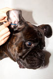 Boxer dog ears cleaning Stock Photography