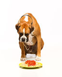 Boxer Dog Eating Spaghetti. This Boxer Dog is eating spaghetti with red sauce stock photography