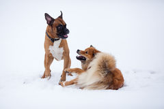 A boxer dog and an Elo dog in the snow Royalty Free Stock Photo