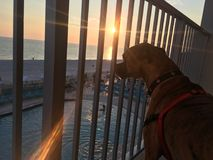Dog on the sandy beach at sunset. Boxer dog enjoying dawn breaking on the water Royalty Free Stock Image