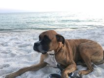 Dog on the sandy beach at sunset. Boxer dog enjoying dawn breaking on the water Royalty Free Stock Images