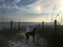 Dog on the sandy beach at sunset. Boxer dog enjoying dawn breaking on the water Royalty Free Stock Photography