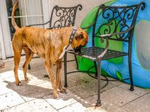 Boxer dog explores the patio furniture in the back yard. Dog stops to smell the flowers in the garden stock photography