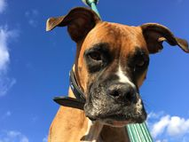 Portrait of a Boxer Dog  and blue sky Stock Image