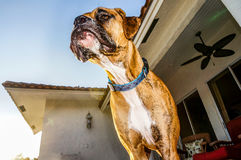 Boxer dog face has water coming out Stock Photo