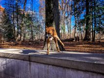Dog plays with a stick in the woods. Boxer dog fetches a stick in the forest royalty free stock images