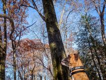 Dog plays with a stick in the woods. Boxer dog fetches a stick in the forest stock photography