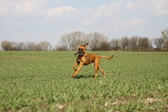 Boxer dog on the field Royalty Free Stock Image