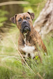 Boxer dog in the forest Royalty Free Stock Photo