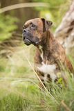 Boxer dog in the forest. Portrait of a boxer in the forest Stock Photo