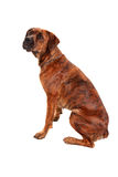 Boxer dog in front of white background Stock Images