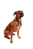 Boxer dog in front of white background Stock Photo