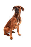 Boxer dog in front of white background Royalty Free Stock Photos