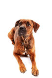 Boxer dog in front of white background Stock Photography