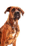 Boxer dog in front of white background Royalty Free Stock Image
