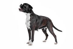 Boxer dog in front of a white background Stock Image
