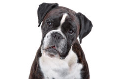 Boxer dog in front of a white background Stock Photography