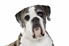 Boxer dog in front of a white background Stock Images
