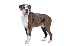 Boxer dog in front of a white background Royalty Free Stock Image