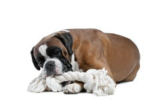 Boxer dog in front of a white background Royalty Free Stock Images
